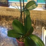 Mature keiki on the stem hanging off the parent orchid