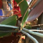 Close up of mature keiki on the stem hanging off the parent orchid